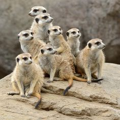 Our meerkat mob is always on the lookout. These charismatic critters live in underground burrows in large groups of up to 40 individuals called a gang or a mob. (photo: Mike Wilson)