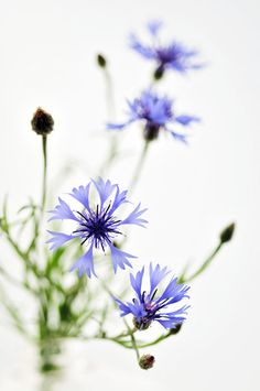corn flower- one of those that I have loved in the wild since childhood