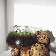 Driftwood & glass terrarium with moss and Radermachera sinica Glass Terrarium, Driftwood, Plants, Home Decor, Room Decor, Drift Wood, Home Interior Design, Plant, Planting