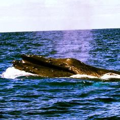 H2o Adventures Hawaii North Shore Oahu at Haleiwa Boat Harbor. Humpback Whale!