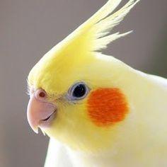 Parakeet Bird, Cockatiel, Cute Birds, Galaxy Wallpaper, Fur Babies, Cute Pictures, Cute Animals, Kawaii, Puppies