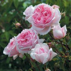 The Wedgewood David Austin English Rose #botanus #bulbs #flowerbulbs #canadianGardening #roses #david_austin