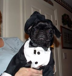 Adorable! #tuxme #pug in his tux #pugcostumes #dog #costumes #pugtastic #puglove