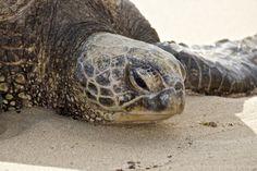 . Olive Ridley, Turtle Beach, Tortoises, Riviera Maya, Science Nature, Animals Beautiful, Creatures, Sea Turtles, Shell