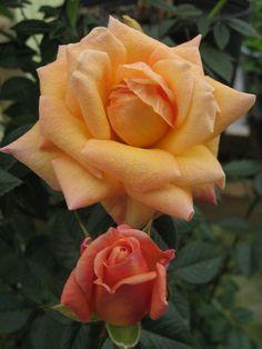 Meet The Biltmore Garden Rose Collection. Growing Flowers, Love Flowers, Beautiful Flowers, Flower Garden Plans, Garden Ideas, Killing Weeds, Cornelius Vanderbilt, Fine Gardening, Biltmore Estate