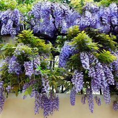 Amethyst Falls Blue Wisteria   Vine for the Mini Arbor over the gate and along the fence between the trees.