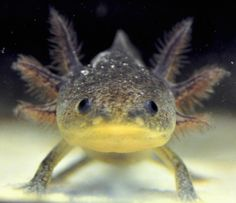 axolotl-mexican-walking-fish-07.jpg (900×776)