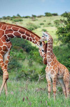 Reticulated giraffe nuzzles her calf in Lewa Wildlife Conservancy, Kenya
