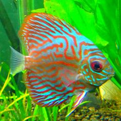 Red turquoise discus fish