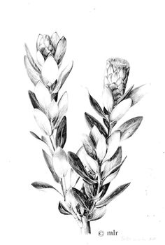 Botanical illustration: Protea mundii By Marike le Roux Pen Illustration, Botanical Illustration, Botanical Flowers, Botanical Prints, Black And White Picture Wall, Floral Drawing, Botanical Drawings, Floral Illustrations, Magazine Art