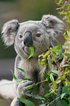 Koala eating eucalyptus                                         #cuteanimals #lolanimals #animals