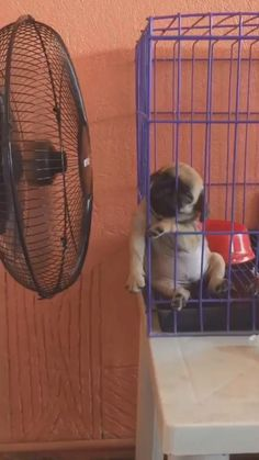 Baby Pugs, Cute Baby Dogs, Cute Funny Dogs, Cute Cat Gif, Cute Pugs, Cute Funny Animals, Cute Animal Videos, Funny Animal Pictures, Pet Videos