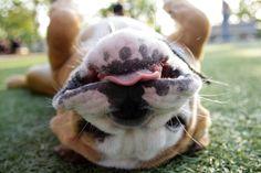 Very Funny Bulldog (800x533)http://ift.tt/2q8Vz86