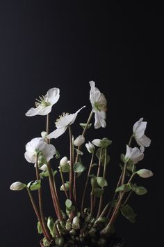 Hellebore | Christmas rose | playing with light and dark