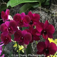 The New York Botanical Garden #orchidnybg #orchidelirium @nybg #orchids #orchid  2016-3-9 Orchids_photo by Lia Chang-3224