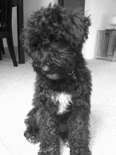 Sad Puppy - Max the Schnoodle