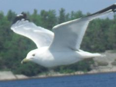 A Gliding Seagull following us as seen on the Island Queen on the Georgian Bay Parry sound ont.