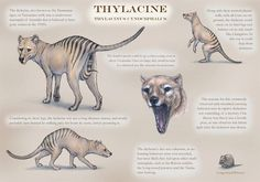 Jurassic Park, Jurassic World, Animals And Pets, Cute Animals, Tasmanian Tiger, Desenho Tattoo, Extinct Animals, Prehistoric Creatures, Australian Animals