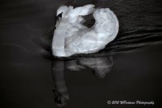 Cigno Bianco by Welbis Pestana on My Animal, Black And White, Animals, Animales, Animaux, Black White, Animal Memes, Animal, Black N White