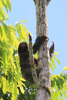 A three toed sloth climbing down a tree in Rio Frio, Costa Rica. Find out where else you can see these cute creatures in our Costa Rica wildlife watching guide http://mytanfeet.com/costa-rica-wildlife-and-nature/birds-of-costa-rica/http://mytanfeet.com/about-cr/costa-rica-wildlife-best-places-see/