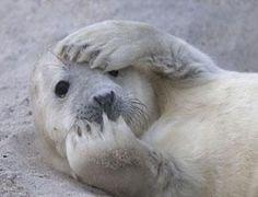 Junge Kegelrobbe in der Nordsee.