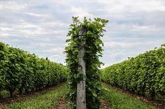 Le tournée des Vignobles dans Lanaudière