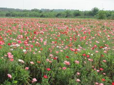 Think Pink...Think about visiting the 200 acres at Wild Seed Farm in Fredericksburg