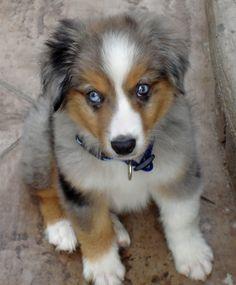 Australian Shepherd puppy - blue merle