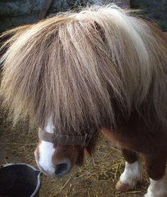 Shetland Pony bad hair day. Tulee Sanna-Raipe mieleen