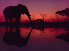 An African elephant drinks at dawn in Botswana's Chobe National Park
