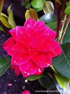 De andere Camilia die in bloei kwam. The other Camilia who came into bloom.