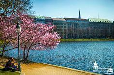 Kirschblüte in Hamburg an der Alster