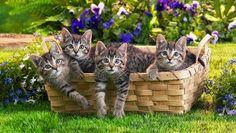 Four Cute Kitties In The Basket.