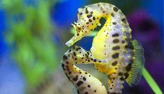 El caballito de mar, una curiosa especie en la que el macho se encarga de la crianza de los hijos.