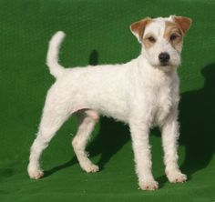 Parson Terriers are the best