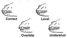 Great Dane Standard Great Dane Facts, Teething