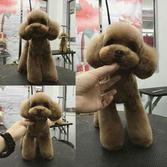 Dog Grooming Styles, Dog Grooming Salons, Poodle Grooming, Pet Grooming, Red Poodles, Mini Poodles, Poodle Haircut Styles, Cute Teacup Puppies, Poodle Cuts