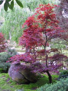 Japanese Garden Landscape, Small Japanese Garden, Small City Garden, Japanese Garden Design, Japanese Plants, Japanese Gardens, Modern Gardens, Small Gardens, Japanese Maple Tree Care