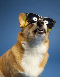 Cool in Shades - Stoli, a Pembroke Welsh Corgi Funny Corgi Pictures, Funny Animals, Cute Animals, Dog Suit, Corgi Mix, Cardigan Welsh Corgi, Pembroke Welsh Corgi, Mans Best Friend, Dog Life