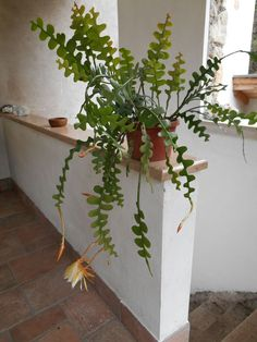 Indoor Gardening: An Environment-Friendly Thing Epiphyllum Anguliger -Fishbone Cactus, Moon Cactus, Queen of the Night, Rickrack Cactus, Rick-Rack Orchid Cactus - Orchid Cactus, Cactus Flower, Tropical Plants, Green Plants, Hanging Plants, Indoor Plants, Indoor Cactus, Air Plants, Decoration Plante