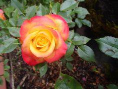 International Rose Garden in Portland, Oregon