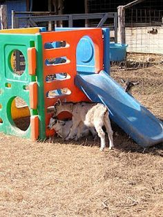 Goat Playground - Find one cheap on craigslist, facebook, freecycle...