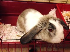 How to Litter Box Train Your Bunny Rabbit | Rabbit cages, The o ...
