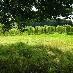 Vineyards in Holland..