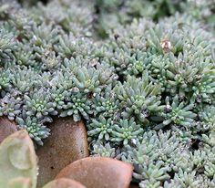 Sedum hispanicum 'Spanish Stonecrop'