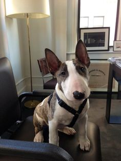 Beautiful Bull Terrier