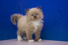 Ragdoll Kittens for Sale - Buy Ragdoll Kittens