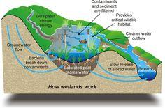 wetlands ecosystem | ... RRU and the Importance of Wetland Restoration! | greenconsiderations