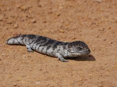 Australian Wildlife - a Bobtail or Western Shingleback Skink (Tiliqua rugosa). Almost ran this little guy over as he was sitting in the middle of a dirt track.