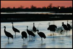 """Visual #BibleVerseoftheDay: Sandhill Cranes Settle for the Night, Platte River Valley, Central Nebraska and Psalm 42:8. """"The Lord will command His lovingkindness in the daytime; And His song will be with me in the night…"""" http://visualverse.thecreationspeaks.com/through-the-shadows-of-the-night/"""